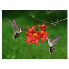 Hummingbird pair Poster