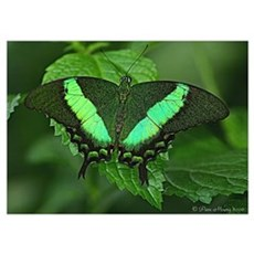 Green Majestic Butterfly Poster