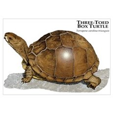 Three-Toed Box Turtle Poster