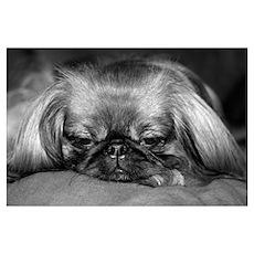 Dog - Pekingese #2 Poster