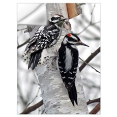 Downy Woodpeckers Wall Decal