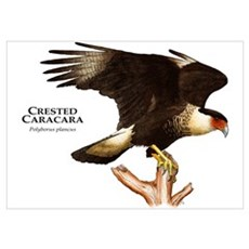 Crested Caracara Poster