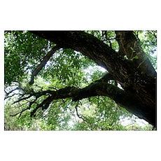 Beloved Oak Poster