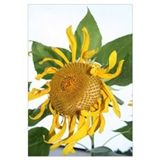 flower pictures sunflower pho Framed Print