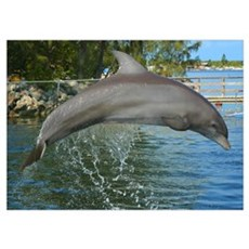 Dolphin Jumping For Joy Poster