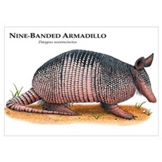 Nine-Banded Armadillo Poster