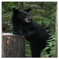 black bear leaning on log Poster
