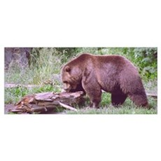 Brown Bear Looking for Grubs Poster