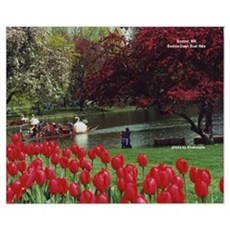 Swan Boats in Spring Poster