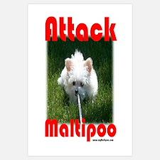 Attack Maltipoo
