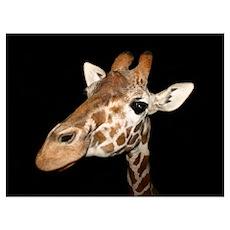 Beautiful Giraffe Poster