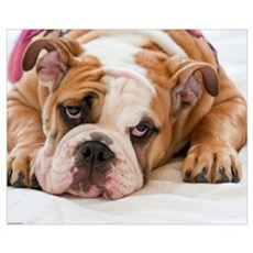 English Bulldog Puppy Canvas Art