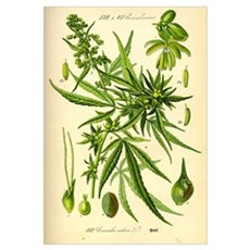 Marijuana Cannabis Sativa Poster