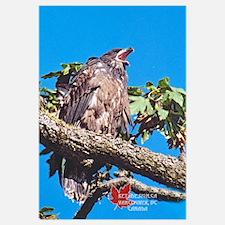 Baby Wild Bald Eagle