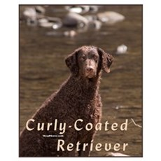 Curly Coated Retriever-4 Poster