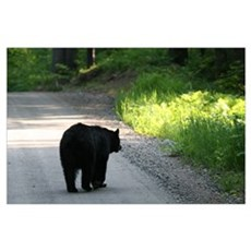 black bear walking on road Poster