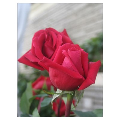 A001-RED ROSE Poster