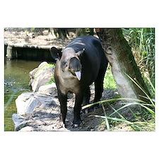 -Tapir
