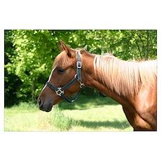 Arabian colt profile Poster