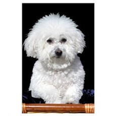 Fifi our Bichon Frise Poster