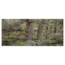 <b>Wisconsin White Pine</b><br> Poster