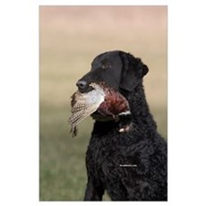 Curly Coated Retriever-6 Poster