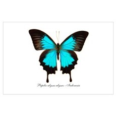 Papilio Ulysses Poster