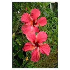 Twin Hibiscus
