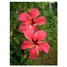 Twin Hibiscus Poster