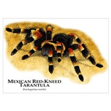 Mexican Red-Kneed Tarantula Poster