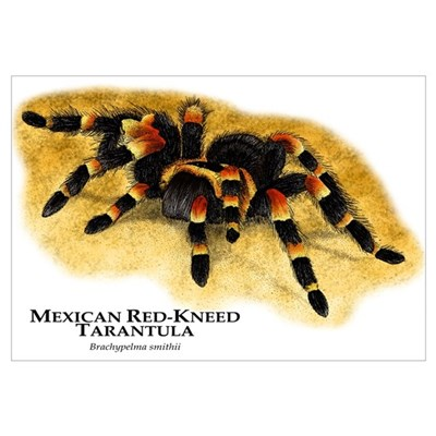 Mexican Red-Kneed Tarantula Framed Print