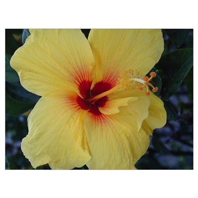 Yellow Hibiscus 20x16 Flower Photograph Poster