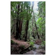 Muir Woods, California Poster