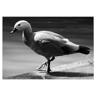 Duck #2 Poster