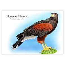 Harris Hawk Poster