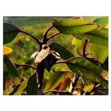 Bushland Gumnut & Gum Leaves Poster