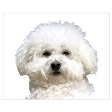 Fifi the Bichon Frise Framed Print