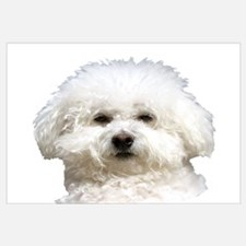 Fifi the Bichon Frise