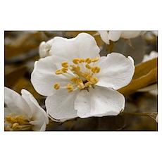 Antique Apple Blossom Poster