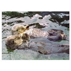 Sea Otter Love Poster