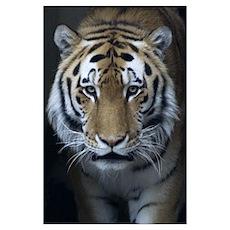 Tiger Portrait Print Poster