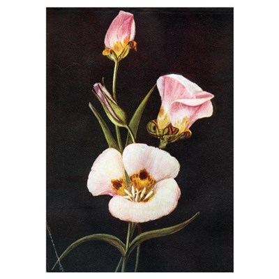 Mariposa Lily Poster