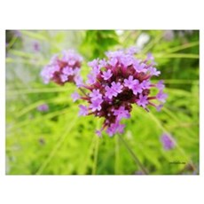 Purple inflorescence Poster