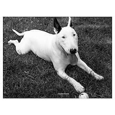 Playful Bull Terrier Poster