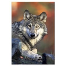 The Face of the Timber Wolf Framed Print