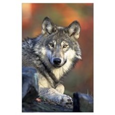 The Face of the Timber Wolf Poster
