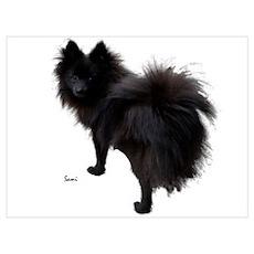 Black Pomeranian Poster