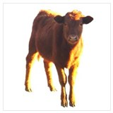 Aberdeen angus Posters