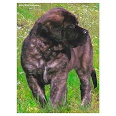 Mastiff 151 Poster