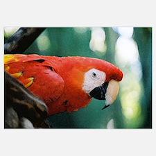 Scarlet Macaw series 1